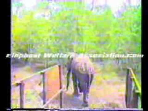 Electro-ejaculation&Artifical Insemination of the Asian Elephant - 6.