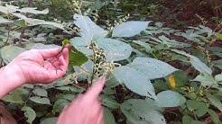 Stinging Nettle - Wild Plants with Susun Weed