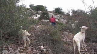 élevage de caprins au coeur du Djurdjura