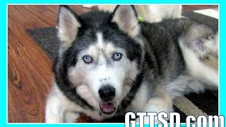 Husky Loves Her Kennel | Fan Friday 189