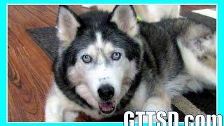 Husky Loves Her Kennel | Fan Friday 189