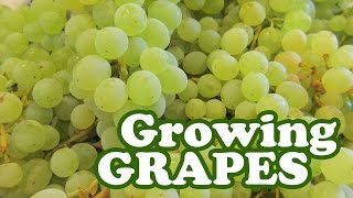 Growing Grapes Tree Vine Plant - Thompson Seedless Green Grape Variety Privacy Fence Cyclone Jazevox