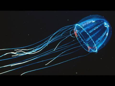 Amazing Jellies - KQED QUEST
