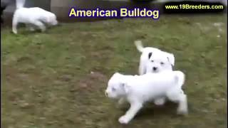 American Bulldog, Puppies, For, Sale, In, Clifton, New Jersey, Nj, Morris, Passaic, Camden, Union, O