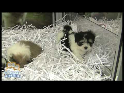 Maltese X Shih Tzu Puppies Youtube