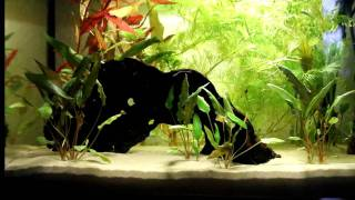 my first aquarium 54l hd with guppys and corys