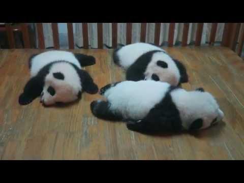 Cute overload! Red pandas. Giant Pandas. Baby Pandas. Fresh Pandas.