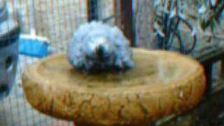 """""""Who say's African Grey Parrots don't like water""""..."""
