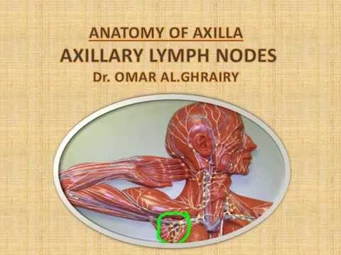 Axilla Axillary Lymph Nodes Dr Omar Al Ghrairy