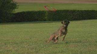 Chewie Le Chien Volant / Chewie The Flying Dog - Border Terrier