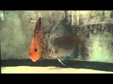 Discus Fish Pair Cross