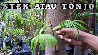 Gambar cover Hasil Stek Atau Tonjo