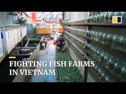 Vietnamese farmer raises thousands of fighting fish in separate bottles