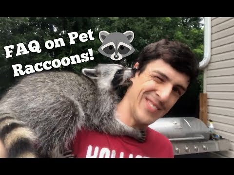 FAQ About Owning a Pet Raccoon!