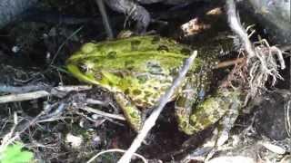 УЖ поймал лягушку