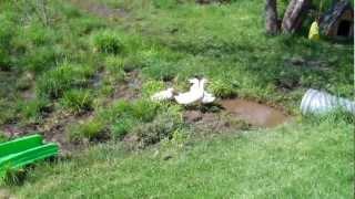 India Runner Ducks at our farm.
