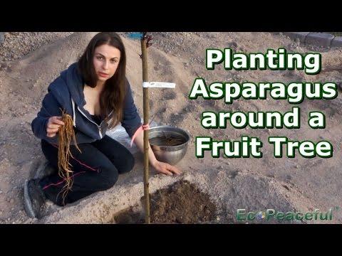 Planting Asparagus Around Deciduous Fruit Trees + Drunken Blooper