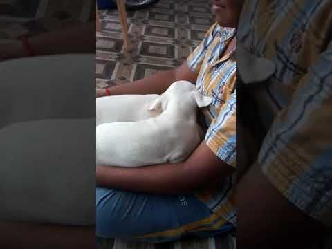Rajapalayam puppies for sale