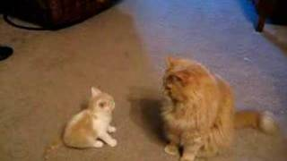 Kitten trying to play with Big Cat