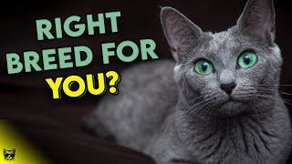 Is The RUSSIAN BLUE Cat The RIGHT Breed For You? Find Out Now!