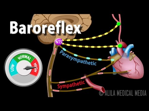 Baroreflex Regulation of Blood Pressure, Animation.