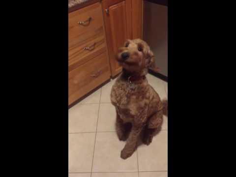 Funny dog nodding yes again