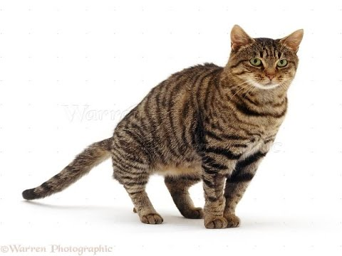 Tabby Cat Breed | Various Tabby Cat Patterns to Amaze You