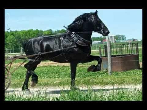 Percheron Stallion Yoder Farms Duke