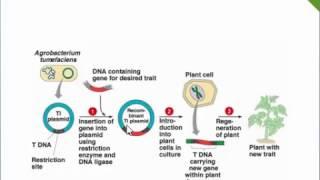 Agrobacterium Mediated Gene Transfer!!! Ti Plasmid,T-DNA,