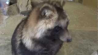ペットにしたいな。東山動物園 名古屋市 2012年12月2日 たぬきの...