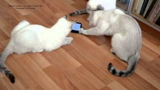 Улётное видео! Как тайские кошки ловили жуков на смартфоне! Тайские кошки - это чудо! Funny Cats