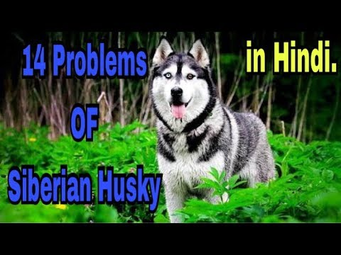 14 Problems OF Siberian Husky in Hindi || problems of dogs ||