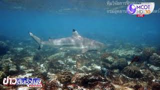 ฝูงฉลามหูดำจำนวนมาก แหวกว่ายหน้าหาดอ่าวมาหยา