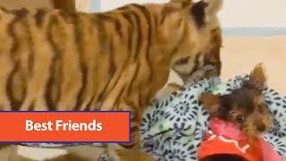 Tiger Cub Plays With Yorkie