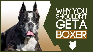 BOXER! 5 Reasons you SHOULD NOT GET A Boxer Puppy!