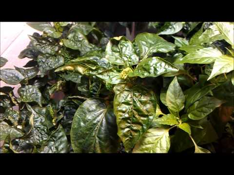 Calcium Deficiency Symptoms In Hydroponic Peppers