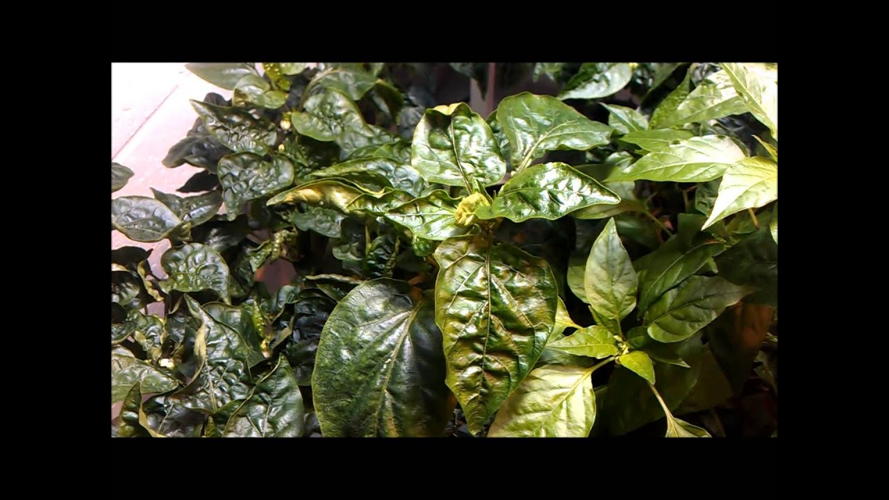Calcium Deficiency Symptoms in Hydroponic Peppers - YouTube