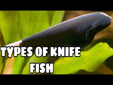 Types Of Knife Fish | Popular Varieties Of Knife Fish | Black Ghost Knife Fish | Prathmesh Aquatics