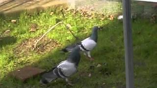 鳩のJACK君がTommy君に追いかけられています。