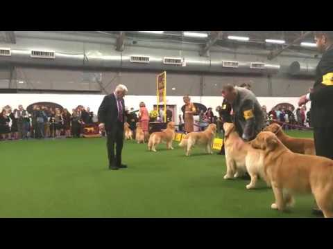 Golden Retriever Competition - Westminster Dog Show
