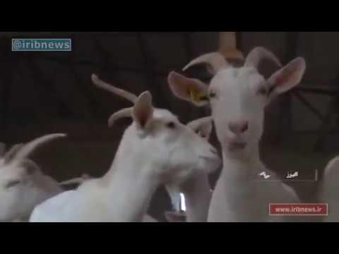 Iran White Goat breeding farm, Alborz province مزرعه پرورش بز سفيد البرز ايران