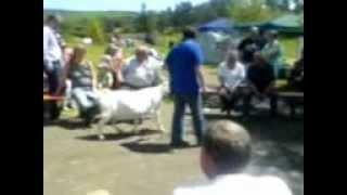 Koza Burska. na wystaiw kóz w Haid ( Niemcy 2012)