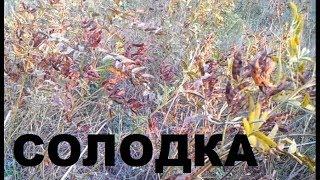 Солодка гола (Glycyrrhíza glábra). Властивості. Цукор древніх.