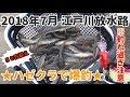江戸川放水路 ハゼ釣り  2018年7月ハゼクラで爆釣!50匹超え
