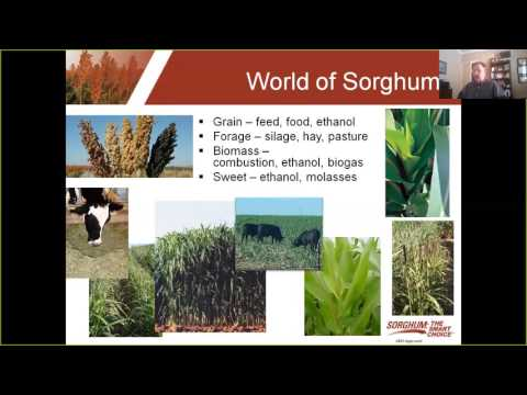 Getting to Know Sorghum