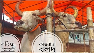 085   TB 2018   Kankraj and Sibbi Bull Lineup   Show Time   Sharif Agro   ZbGH 2019
