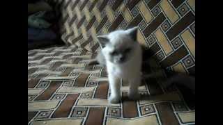 Британские и Шотландские вислоухие котята..)