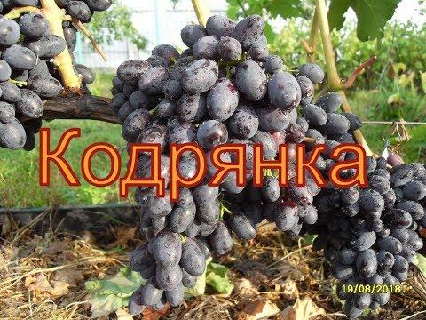 Виноград Беларуси . Лидчина .Сорт винограда - Кодрянка.