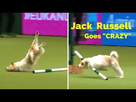 Hilarious Jack Russell goes 'crazy' during agility round at Crufts