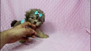Rihanna - Teacup Shih-Tzu Puppy in Puppy Heaven in LA
